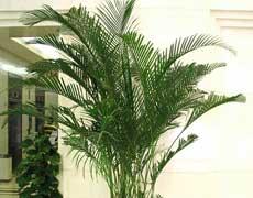 散尾葵的种植手册