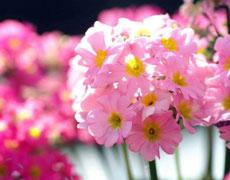 四季樱草图片