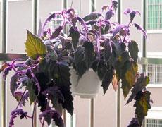 紫鹅绒图片