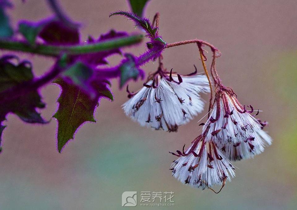紫鹅绒开花图片