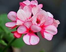天竺葵的种植手册