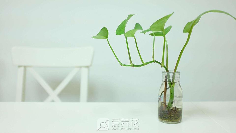 水培绿萝图片