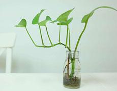绿萝的种植手册