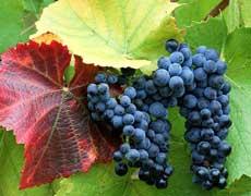 葡萄的种植手册
