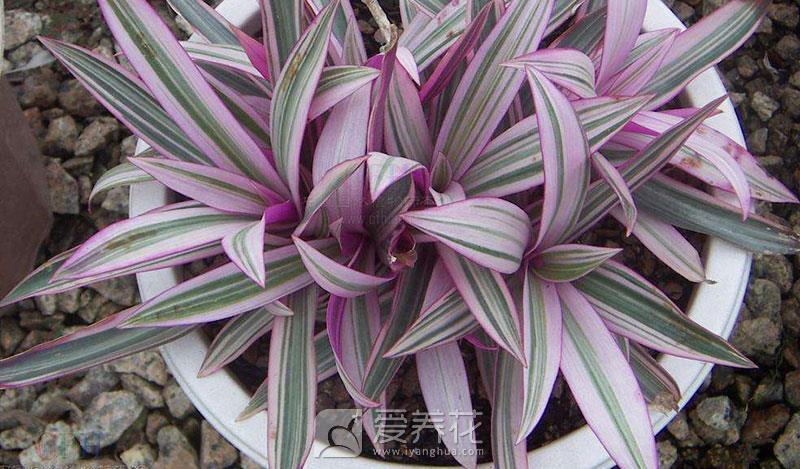 紫背万年青图片