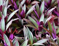 紫背万年青的种植手册