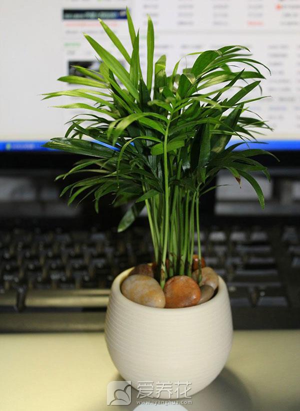 袖珍椰子图片