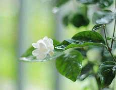 茉莉花的种植手册