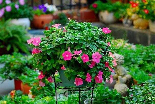 养花怎么施肥图片