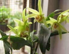 石斛花图片