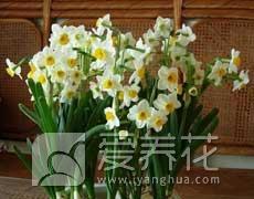 水仙的种植手册