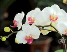 蝴蝶兰的种植手册