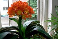君子兰养护要点和君子兰开花需要具备的条件,你都需要注意这些