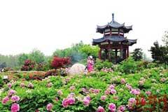 洛阳市区国色持续开放 高山牡丹初露芳容
