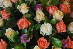 寥寥几句谈如何才能养好盆栽玫瑰花