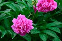 芍药花怎么养以及种植芍药的注意事项