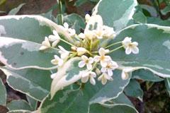 稀有树种银边彩叶桂栽培要点
