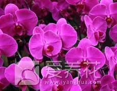 蝴蝶兰图片