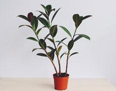 橡皮树的种植手册