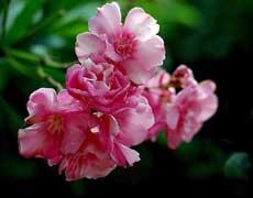 盘点家庭养花常见的有毒花卉